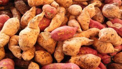 Photo of تاريخ البطاطا الحلوة يكشف العلاقات القديمة بين البشر