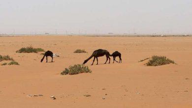 """Photo of في سابقة.. السعودية تحنط الجميلة """"خزامة"""" (فيديو)"""