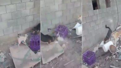 Photo of السعودية : القبض على معذب القطط بالكلاب في المدينة المنورة ( فيديو )