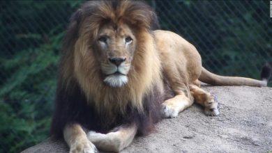 Photo of لبؤة تقتل والد أشبالها الثلاثة داخل حديقة حيوانات ( فيديو )