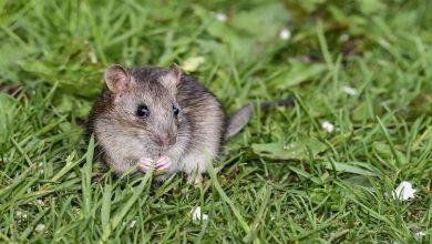 Photo of الفئران مفتاح علاج فقدان البصر لدى البشر!